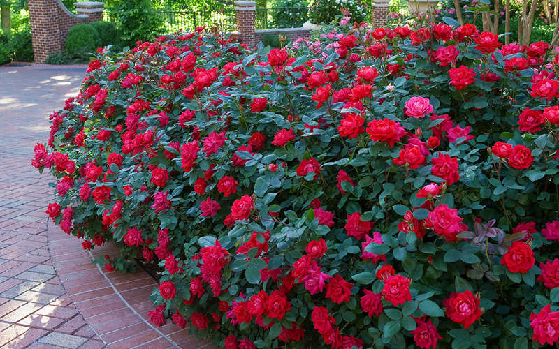 The Easy Way To Grow Roses Bru Mar Gardens